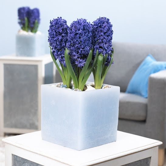 The flowers market potted hyacinth designs - Planting hyacinths pots ...