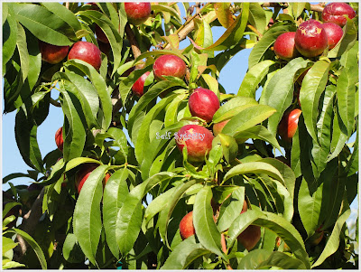 nectarine fruits on tree and leaves