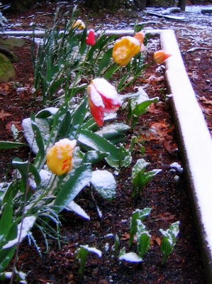 snow on the tulips 7 april 2009