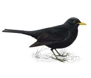 blackbirds drawing - photo #13