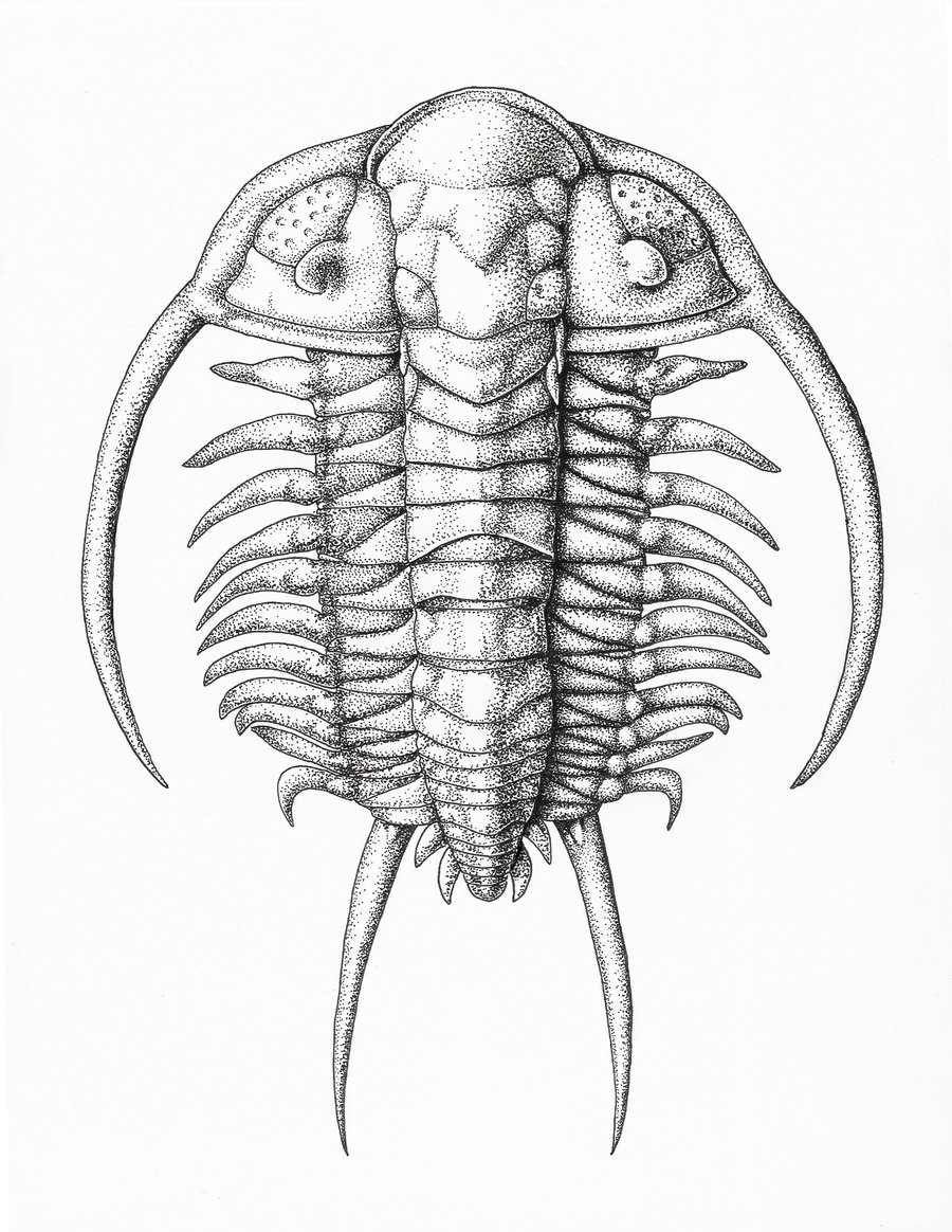 a study on the body of a trilobite and its sections The earliest widely recognized phase of trilobite ontogeny is the protaspid period, during which all body segments (both cephalic and trunk) formed an undivided dorsal shield (chatterton and speyer, 1997) this period typically embraced a small number of stages.