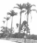 Palmeiras imperiais do Jardim
