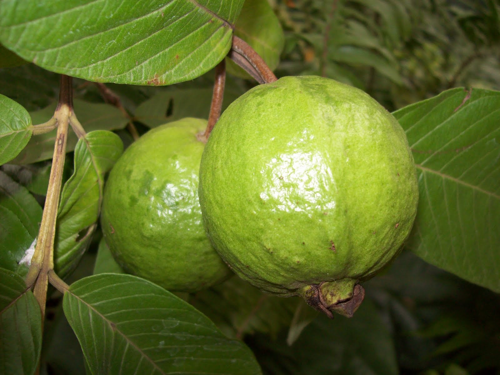 local studies guava leaves Investigatory project 2013 (guava leaf extract compounds present in oregano is not also included in this study g definition of terms guava- guava is a tropical.