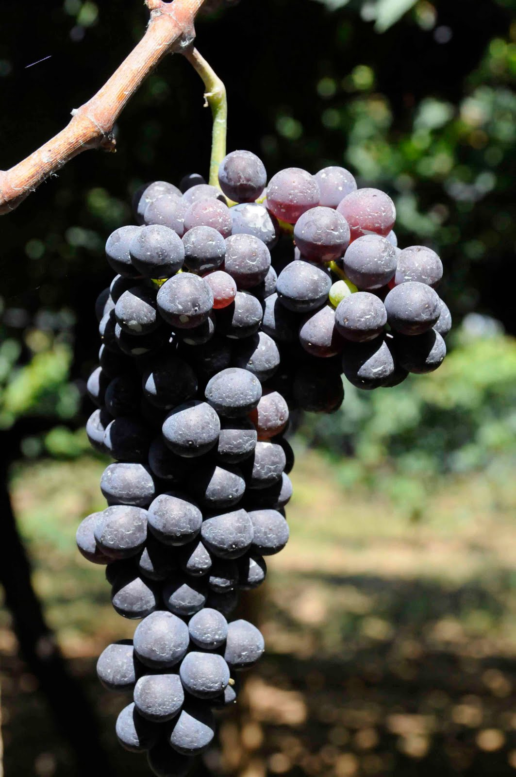 Negroamaro Wine Information