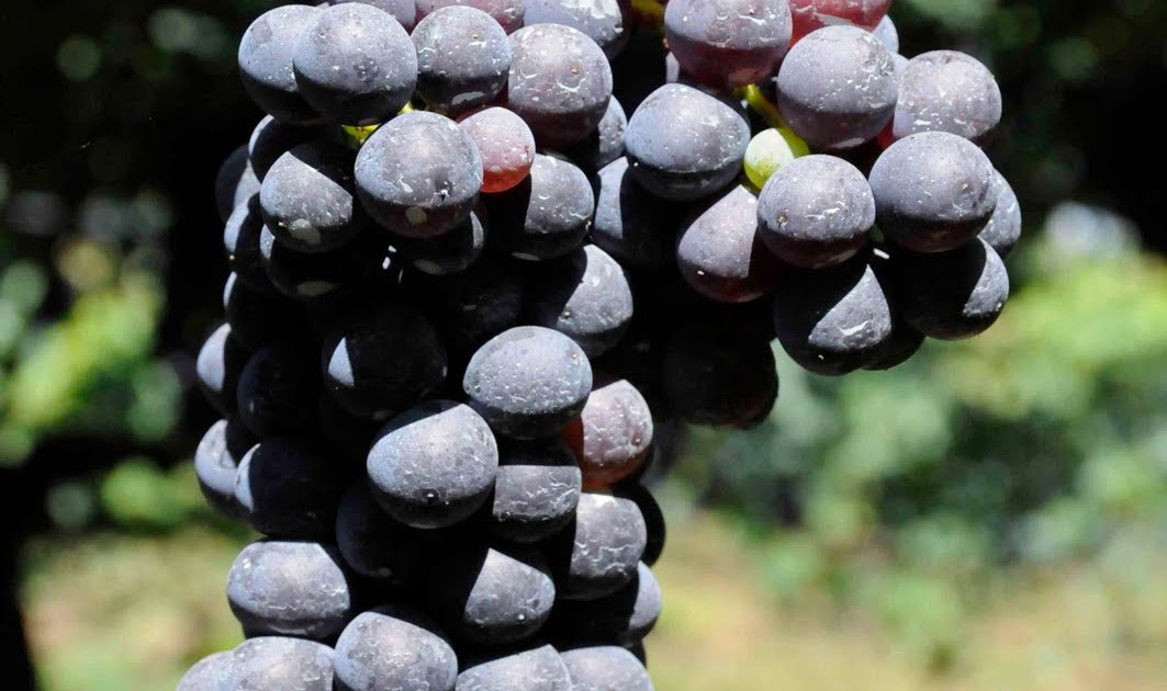 The Negroamaro Grape