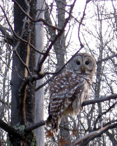 Owl on cold winter day