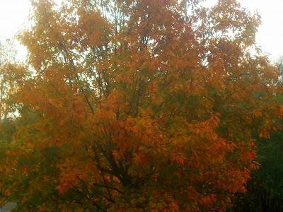 Le querce rosse americane celebrate in via col vento - La porta rossa colonna sonora ...