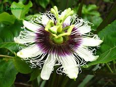 A flor do Maracujá                          04/07/2009