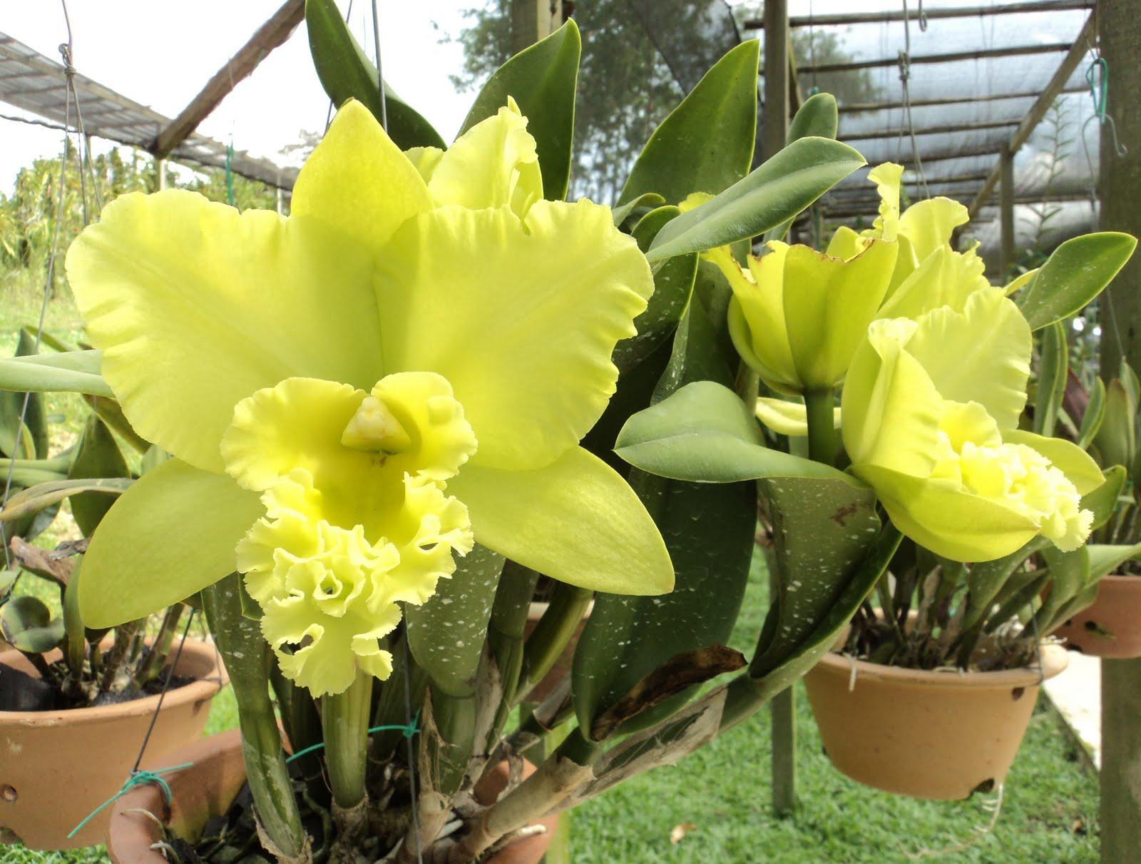 4 da love of orchids cattleya spp green cattleya for Orchidea cattleya