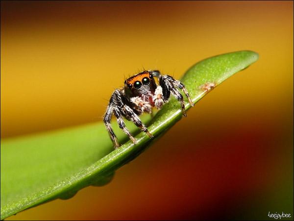 jumping+spider.jpg