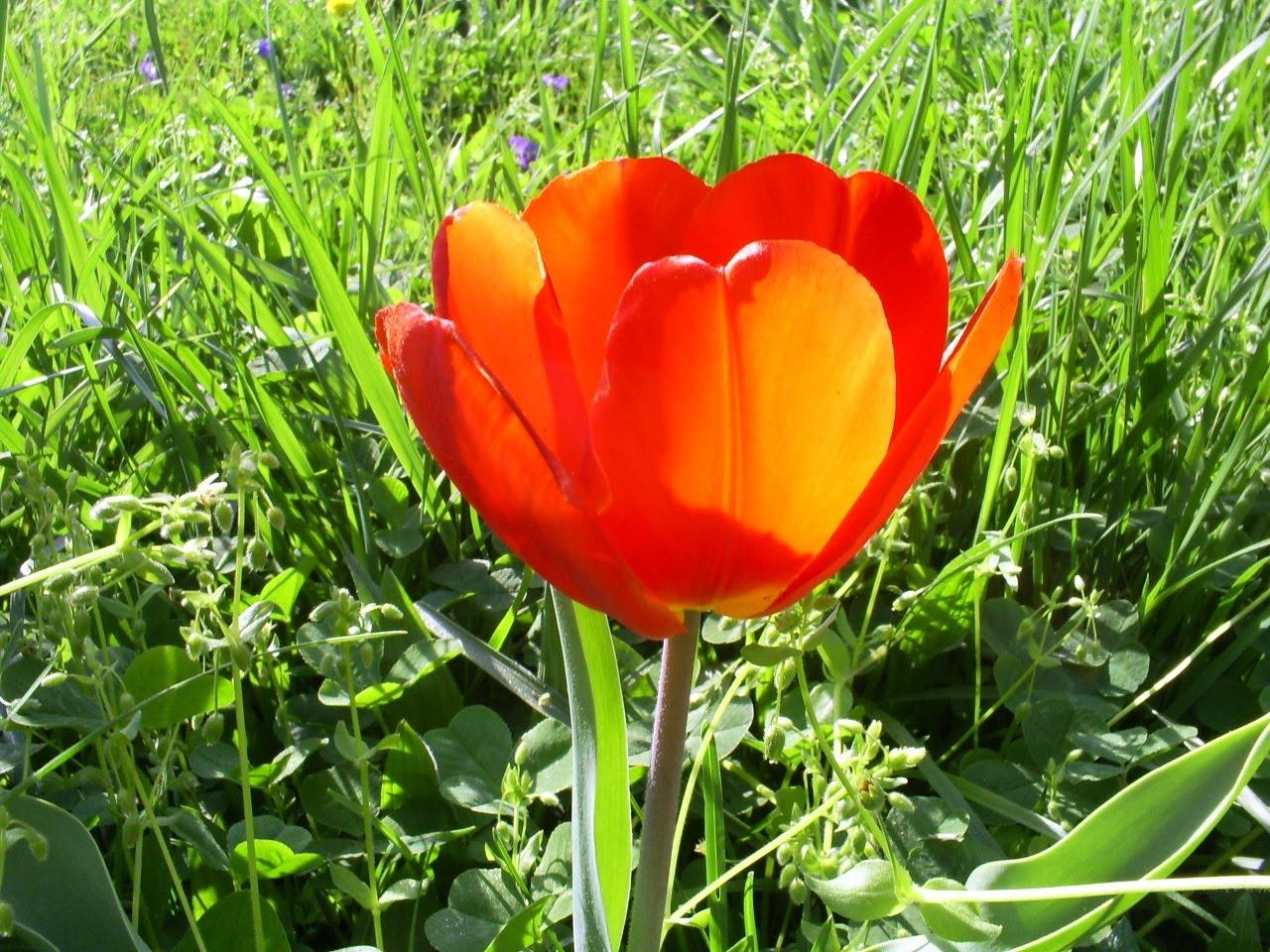 Muscari Musings: One red tulip...