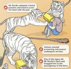 Singapore  Incident Pictures on Online Refreshments  How Singapore Zoo Cleaner Was Mauled By Tigers