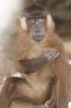 macaca siberu(primata mentawai)