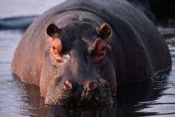 http://1.bp.blogspot.com/_QTgDsEJ2J6c/RoJRDyU1m0I/AAAAAAAAAB8/YULcR4SkP0o/s320/hippopotame.jpg