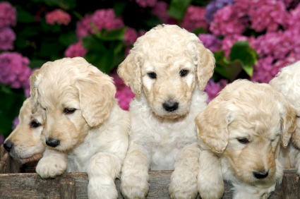 Best of breed blog designer dogs or glorified mutts puppy love at