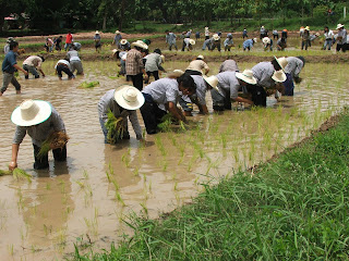 Thai farmers plant a rice