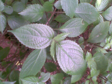 Strobilanthes Ciliatus(Malayalam: Karimkurinji and Sanskrit:sahachara)