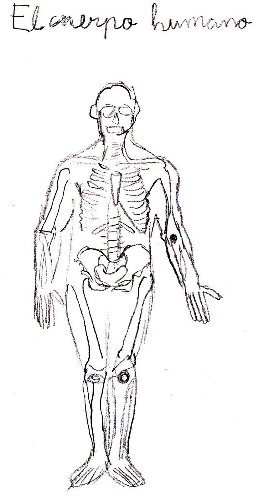 dibujo musculos humanos: