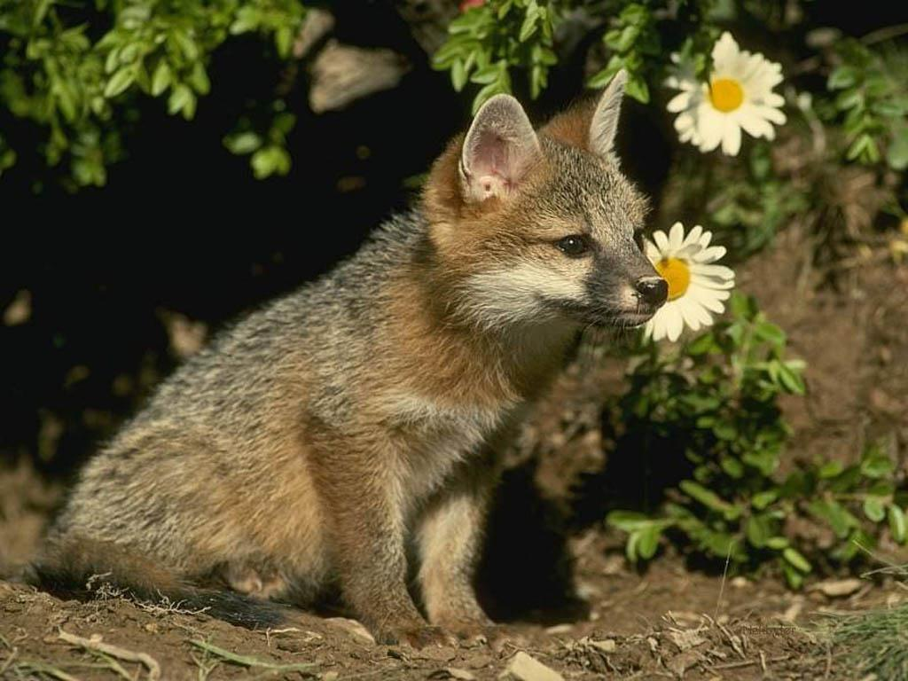 http://1.bp.blogspot.com/_QbCPiwbiH_g/TQ_GmXKGEWI/AAAAAAAAAaU/Qc-tR1Ky5LA/s1600/baby-fox-wallpaper-animal-desktop-1024-x-768.jpg