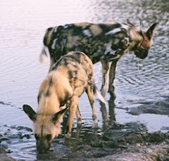 Wild dog in Zimbabwe