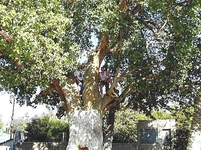 sycamore fig tree. Sycamore tree in Jericho