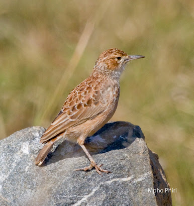 Spike Heeled Lark