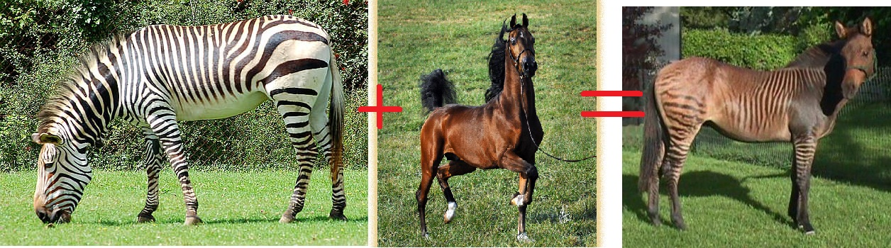 difference between zebra and horse difference between - 1256×350