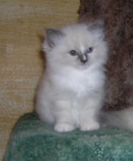 blue blaze mitted ragdoll kitten