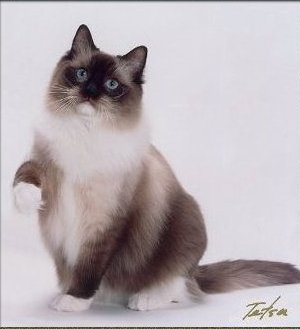 Seal+Mitted+Ragdoll+Cat