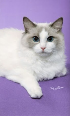 Bicolor Ragdoll Cat With Purple Background