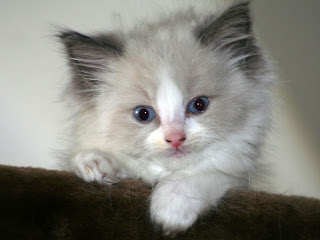 cute little bicolor ragdoll kitten staring