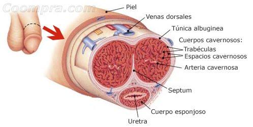 estructura interna del pene