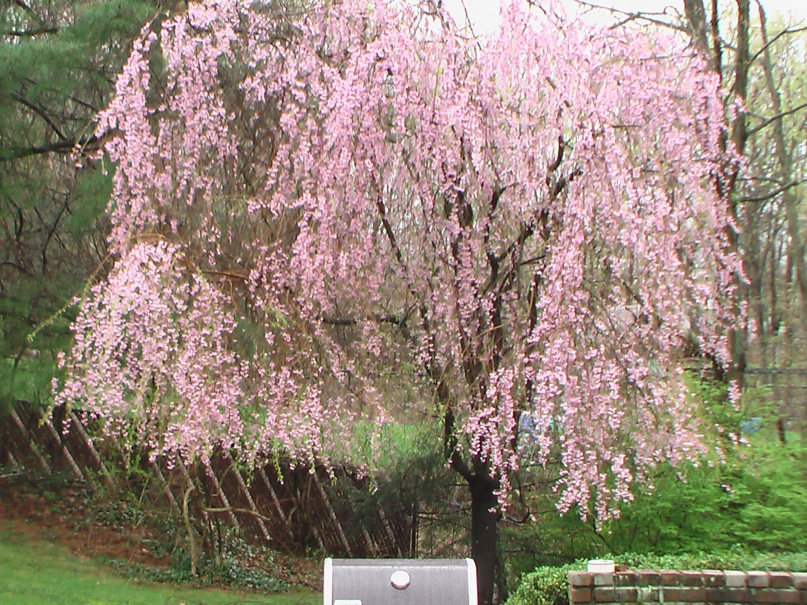 buddhist single women in cherry tree Instead of a gravestone marking the place of burial for a single family, a cherry tree serves as a marker a family grave after a buddhist the japan times.