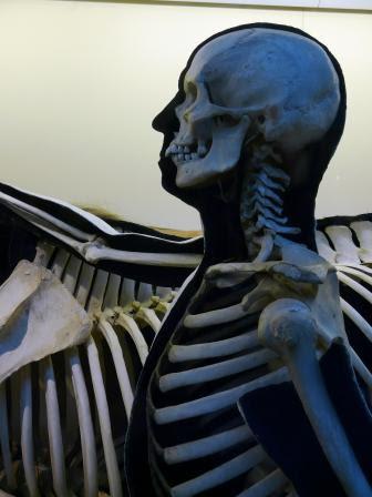 Musklerna sitter på skelettet