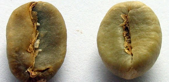 tren deg slank Caffea canephora