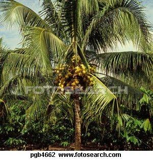 Koleksi Gambar Pohon Kelapa Hibrida