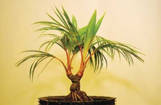 Koleksi Gambar Bonsai Pohon Kelapa