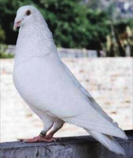 Koleksi Gambar Burung Merpati Pos