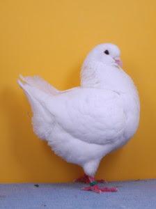 Koleksi Gambar Burung Merpati Hias