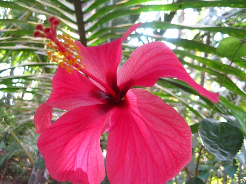 My Photography Jaswand Flower