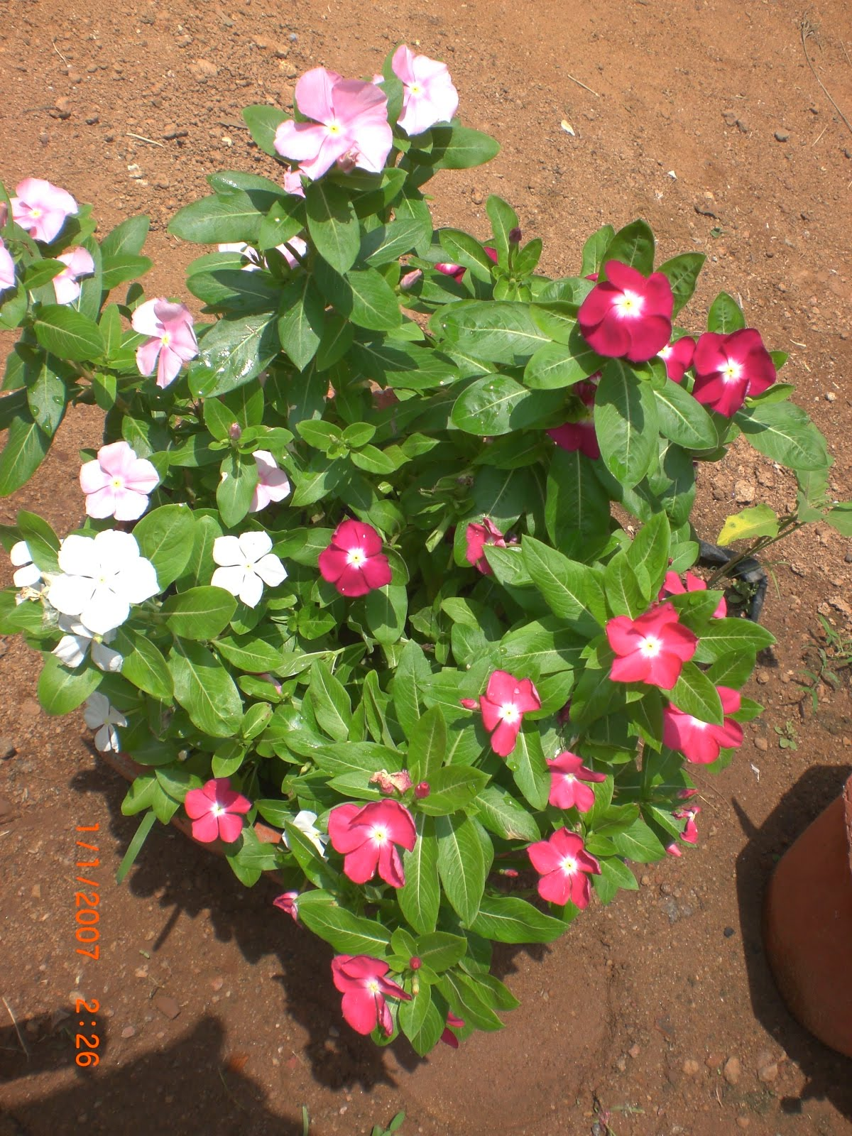variety of plants vinca rosea   buy plants in chennai