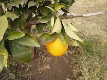 El limón de mi planta no era limón ¡ era naranja!!!