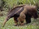 Yurumí: es el nombre en guaraní que recibe el oso hormiguero.