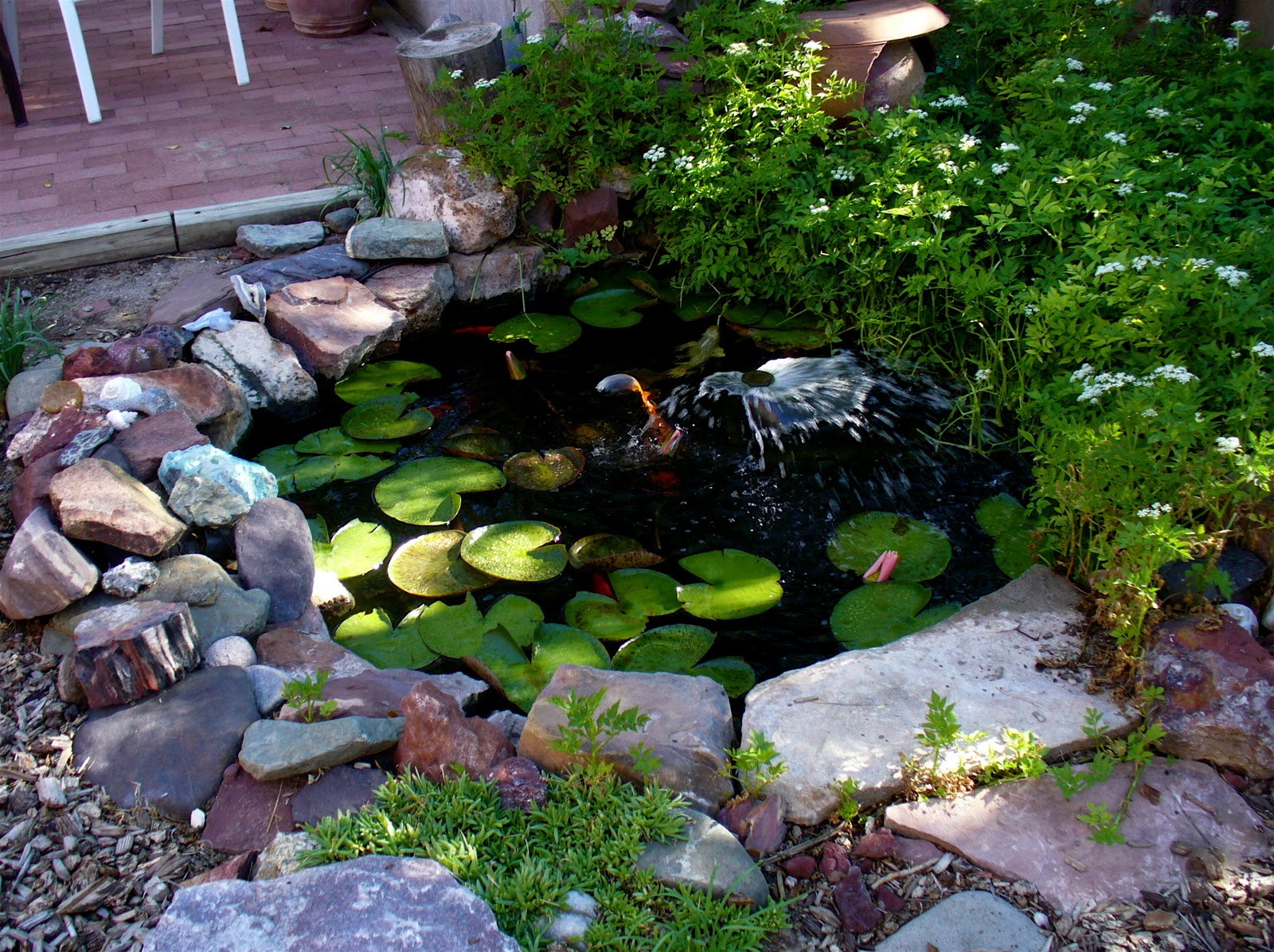 Backyard Ponds Pictures : Around the edge in the upper right is water celery with the white