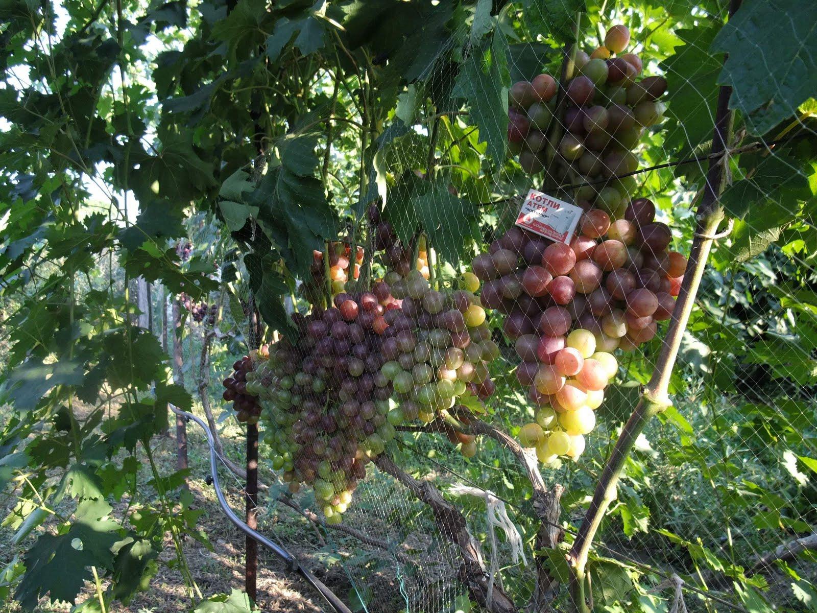 Виноград восторг  описание