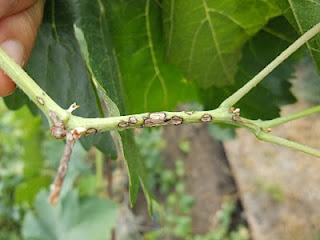 Антракноз на побеге винограда