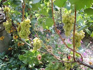 Плевен(Августин) Урожай на одноплоскостной шпалере