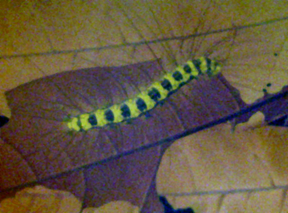 yellow black and white caterpillar. Yellow colour with lack
