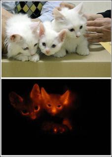 發光貓 南韓 - 發光貓 南韓複製螢光基因