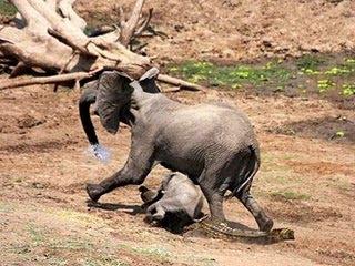 讚比亞 鱷魚突襲大象